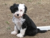 Tibetan Terrier, 8 weeks, Black and white
